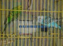 عصافير كنارى استرالية