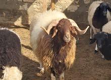 خروف وطني سناه ثني برقاوي