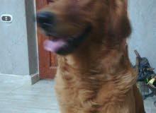 كلب جولد