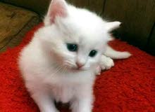 قطط اناثي عدد 2 مكس شرازي للبيع بسعر مغري جدا للجادين فقط