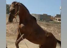 حصان للبيع لمكان مسلاته