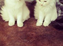 قطط شيرازي شهرين وسبوع