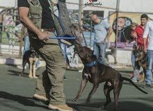 كلب بيبتول للبيع