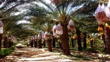 مطلوب مهندس زراعي خبرة زراعة السدر والليمون