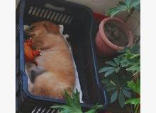 كلاب جولدن عمر شهرين ونص للبيع ....