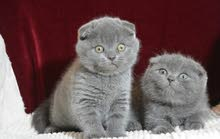 High quality Scottish Fold Kittens for sale