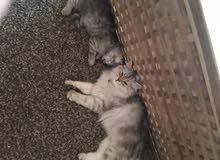 قطة شيرازي شنشيلا