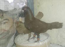 جوزين حمام للبيع او للبدل علا عصافير
