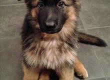 puppy Berger allmand