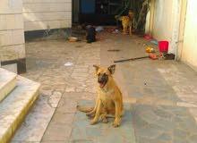كلب جرمن عمر 4 أشهر ذهبي اللون
