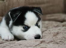 Siberian husky puppies (هاسكى )