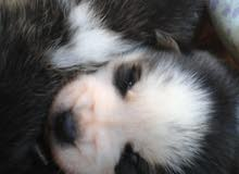 husky sibérien bleu yeux