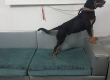 كلب روت وايلر Rottweiler للبيع بالرياض