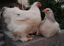 دجاجة الكوشن العملاق