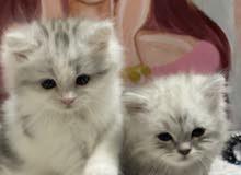 قطط صغيرة وجميلة