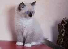 قط كيتنز (هملايا) بيكي فيس