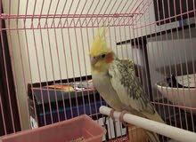 طيور اليفه للبيع قابل لتفاوض