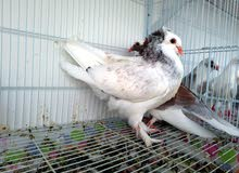 Fancy Pigeons for Sale at Dubai