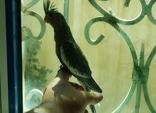 مجموعة طيور كوكتيل شباب