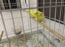 طيور للبيع مع القفص لعوبات اليفات يطيرون براء القفص ويردون القفص بروحهم غير مزعجات