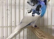 مطلوب طيور بادجري هوجورومو مستويات عالية