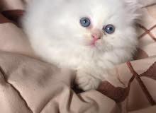 قطط هملايا مع شرازي