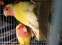 زوج متوالف عمر سنه معرف وراثياً Lutino lovebirds pair for breeding by DNA test