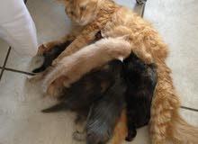 قطط شيرازي للبيع نظيفه جدا ولعوب