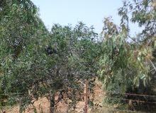 ارض 14 دنم في ذيبان جنوب مادبا