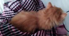قطة فارسية