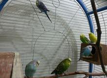 قفص طيور زينه مقاس كبير للبيع