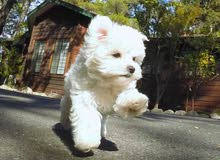 Female AKC Maltese Puppy Ready for a  new  home