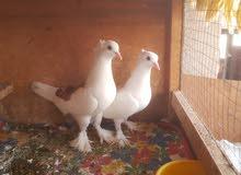 irani pigeon