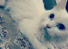قطة ثنية بيضاء اليفة