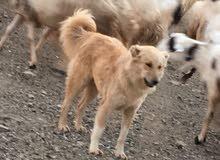 وش فصيلة او نوع هاذا الكلب