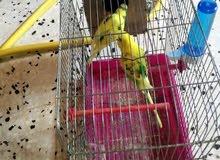 كوبية عصافيرا مصوقرة