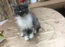 قط صغير عمر شهرين لعوب ونظيف