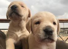 labrador retriever puppys