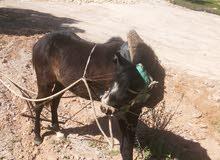 حصان مهر عمره سنتين قابل لبدل على خرفان او عبر