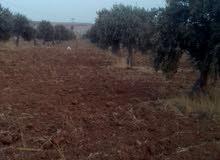 مزرعه --10 دنم مشجره كامل ومشيكه -في ذيبان جنوب مادبا تربه حمراء وقوشان للبيع