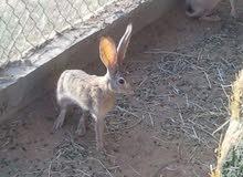 مطلوب ارانب بريه