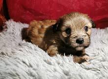 جرو هافنييز ذكر شهر ونص Havanese boy puppy 1.5 month