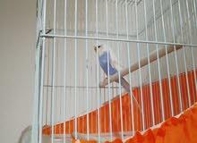 طير حب مع قفص حجمه كبير