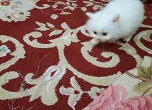 البيع قطط شرزي