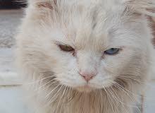 قطوس ميه ميه مربيه عين زرقه عين خضرا