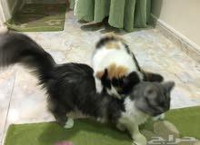 قطط شيرازي للانازل