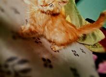 قططتين شرازي