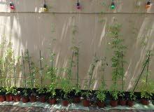 نبتة زهور الشاي الأزرق طويلة
