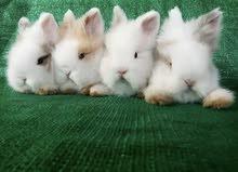 Teddy dwarf bunny