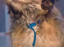 كلب تيرير لعابه فول مواصفات